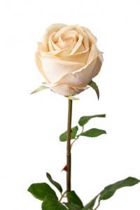 Mr PlantRos - Cremefärgad långskaftad sidenros - 75 cm