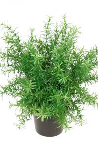 Rosmarin eller asparagus i kruka