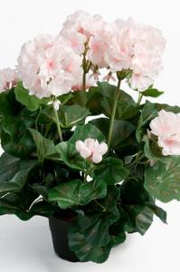 Mr PlantPelargon - Ljusrosa - 35 cm