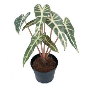 Mr PlantAlocasia - Konstväxt - 30 cm