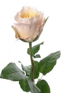 Mr PlantRos - Cremefärgad långskaftad sidenros - 65 cm