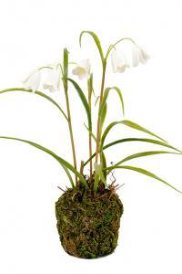 Frittilaria - Vit - Konstväxt - 25 cm