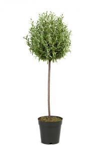 Mr Plant Rosmarin - 65 cm