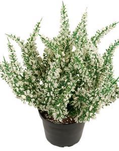 Mr Plant Ljung Vit - Konstväxt - 28 cm
