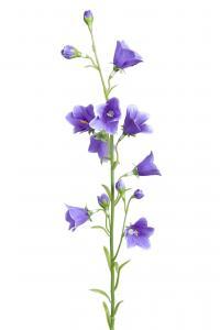 Mr Plant Blåklocka - Blå - 65 cm - www.frokenfraken.se