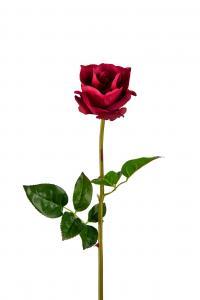 Ros - Röd - 65 cm - www.frokenfraken.se