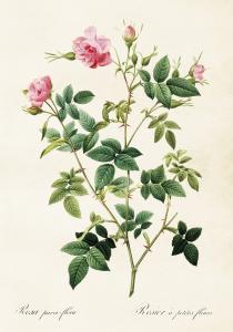 Poster - Vintage - Rosa Ros - 35x50 cm - www.frokenfraken.se