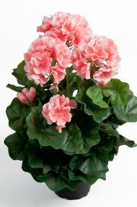 Mr Plant Pelargon - Rosa - 35 cm - www.frokenfraken.se