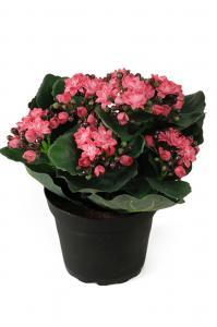Mr Plant Kalanchoe - Rosa - 20 cm