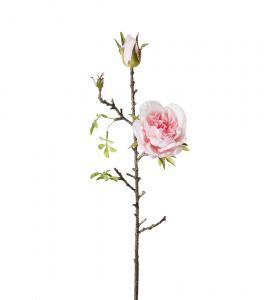 Mr Plant Kvistros - Rosa sidenros - 45 cm