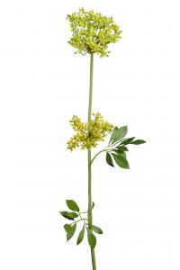 Allium - Gul - 70 cm - www.frokenfraken.se