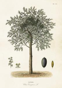 Poster - Vintage - Olivträd - 50 x 70 cm - www.frokenfraken.se