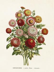 Poster - Vintage - Chrysanthemum - 18x24 cm - www.frokenfraken.se