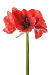 Amaryllis - Röd - 75 cm - www.frokenfraken.se