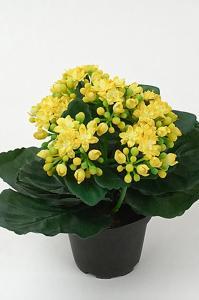 Mr Plant Kalanchoe - Gul - 20 cm - www.frokenfraken.se