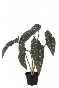 Forell Begonia - Grön - 35 cm - www.frokenfraken.se
