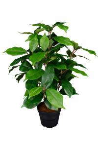 Mr Plant Fikus Benjamin - Grön - 40 cm - www.frokenfraken.se