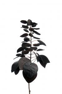 Mr Plant Cotinus - - 50 cm