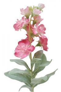 Mr Plant Lövkoja - Rosa - 38 cm
