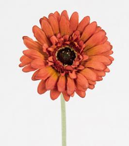 Mr Plant Gerbera - Brun - 55 cm
