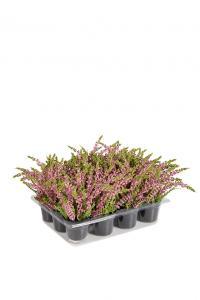 Mr Plant Ljung Cerice - Konstväxt - 18 cm - 1 st