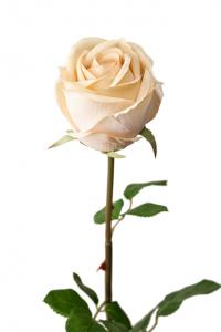 Mr Plant Ros - Cremefärgad långskaftad sidenros - 75 cm