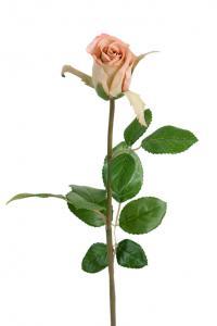Mr Plant Ros - Smutsrosa sidenros - 50 cm