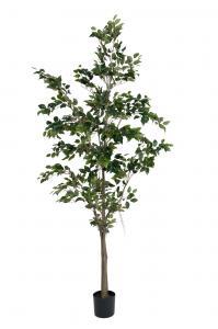 Benjamin Ficus - - 240 cm - www.frokenfraken.se