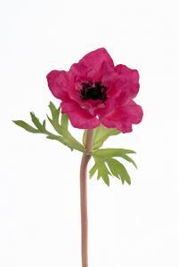 Anemone - Rosa - 32 cm - www.frokenfraken.se
