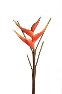 Mr Plant Heliconia - Orange - 65 cm