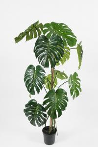 Mr Plant Monstera - - 150 cm