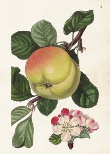 Poster - Äpple - 50x70 cm - www.frokenfraken.se