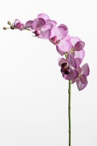 Mr Plant Phalaenopsis - Lila - 75 cm