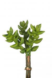 Succulent - Grön - 10 cm - www.frokenfraken.se