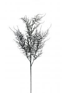 Plumosus - Svart - 70 cm - www.frokenfraken.se