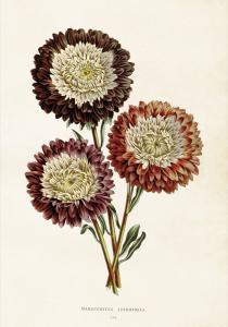 Poster - Vintage - Chrysanthemum - 35x50 cm - www.frokenfraken.se