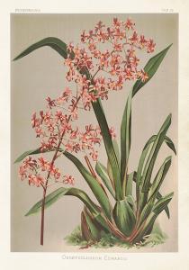 Poster - Vintage - Orkidé - 35x50 cm - www.frokenfraken.se