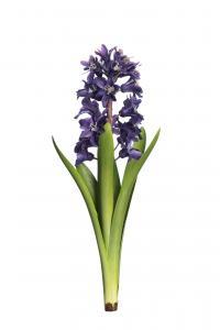 Mr Plant Hyacint - Blå - 32 cm
