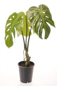 Mr Plant Monstera - Grön - 60 cm