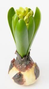 Hyacint - www.frokenfraken.se