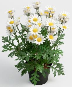 Mr Plant Prästkrage i kruka - Naturtrogen Margurite