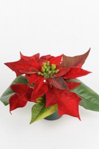 Mr Plant Julstjärna - Röd - 10 cm