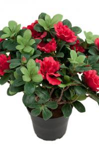 Mr Plant Azalea - Cerise - 25 cm
