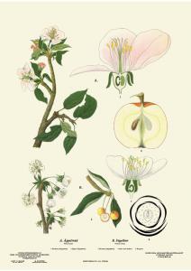 Skolplansch - Äpple - Liten - 32 x 45 cm - www.frokenfraken.se