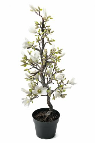 Mr Plant Magnolia med is - 85 cm