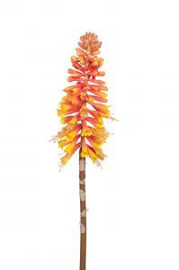 Mr Plant Kniphofia - Orange - 70 cm