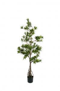 Podocarpus - - 150 cm - www.frokenfraken.se