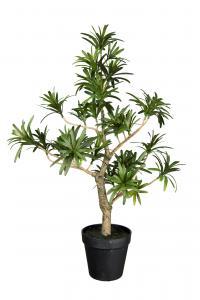 Podocarpus - Gul - 50 cm - www.frokenfraken.se