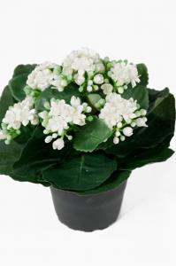 Mr Plant Kalanchoe - Vit - 20 cm