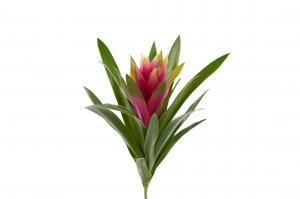 Mr Plant Guzmania - Lila - 30 cm